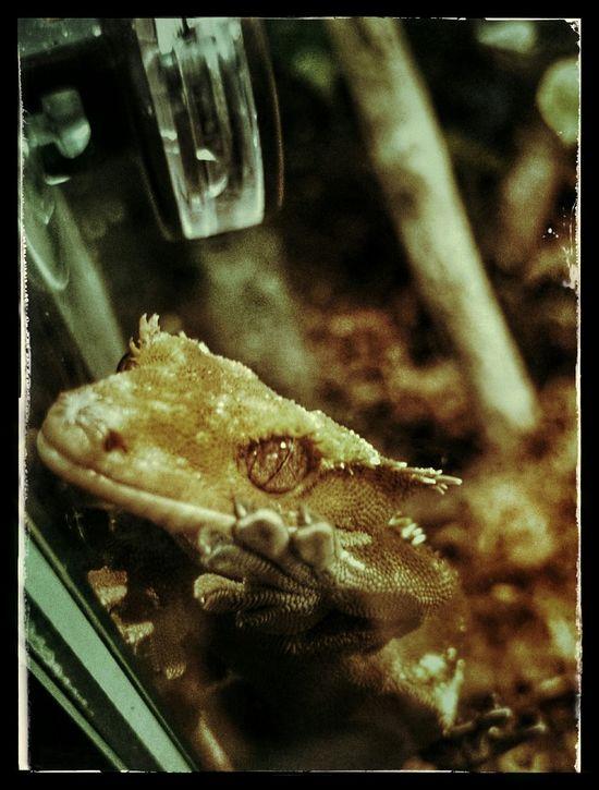 Neukaledonien Crested Gecko Kronengecko Pets Haustier