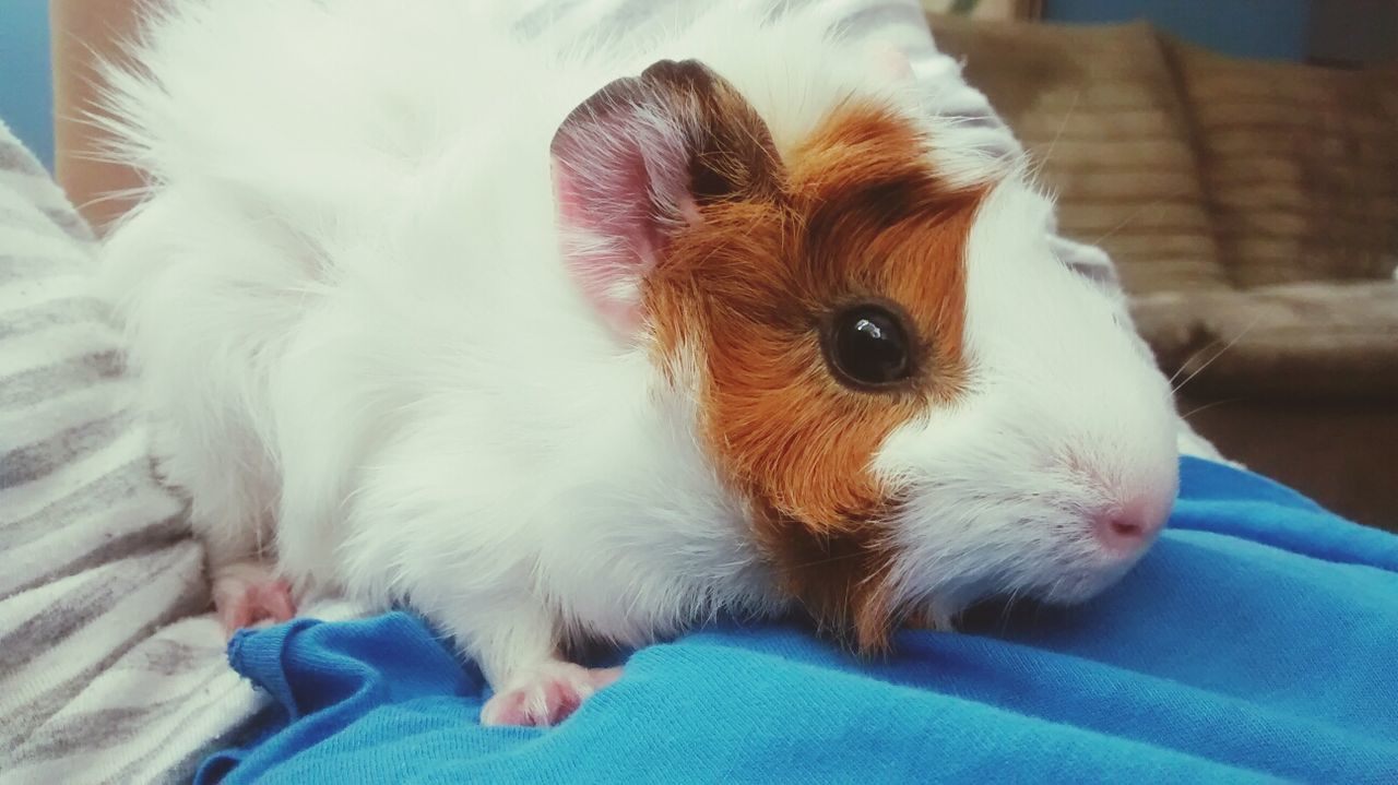 Beautiful stock photos of guinea-pigs, Animal Themes, Brown, Close-Up, Domestic Animals