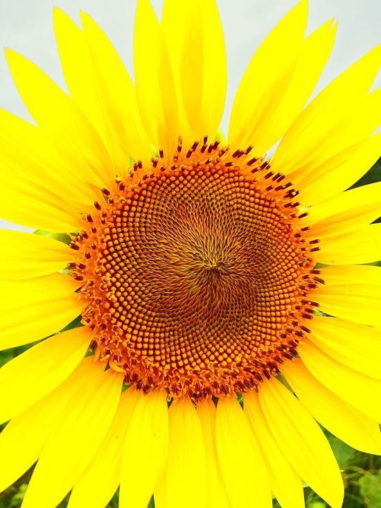Holiday Yellow Yellow Flower Flower Head Flower Beauty In Nature Sunflower Stamen Single Flower Cute Beautifulday Taking Photos Summer Happy Time Enjoying The View Nature Nature_collection Japan Japan Photography 2016 Smile Beautiful Day Love Love ♥ Beauty In Nature