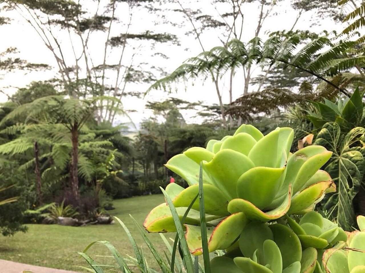 growth, green color, cactus, no people, plant, nature, day, tree, beauty in nature, outdoors, banana tree, freshness, prickly pear cactus, close-up