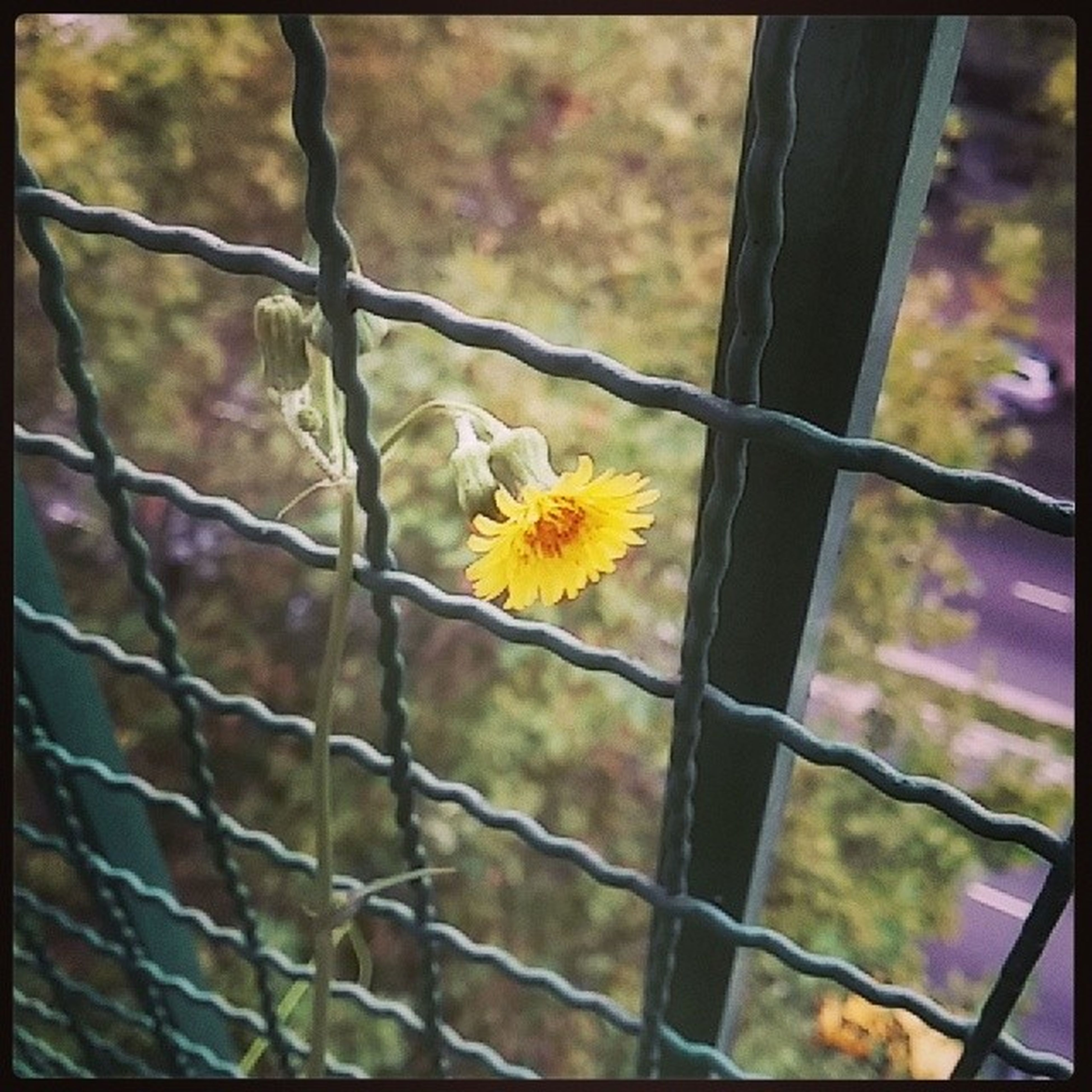 yellow, flower, fence, focus on foreground, chainlink fence, fragility, protection, close-up, growth, petal, flower head, transfer print, freshness, nature, plant, beauty in nature, safety, day, stem, outdoors
