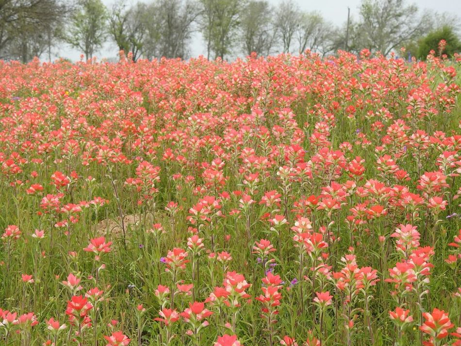 Landscape_photography Indian Paintbrush Flowers Texas Bluebonnets Phlox Beauty Of The Country Side Adkins, Tx