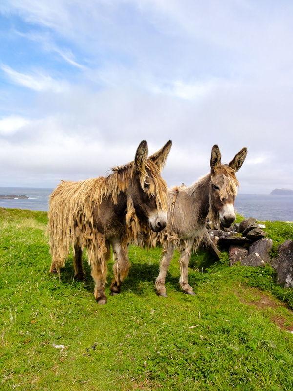 Animal Photography Animal Themes Animals Beautiful Nature Donkeys Green Harry Donkey Ireland Island Peasture Two Donkeys Standin