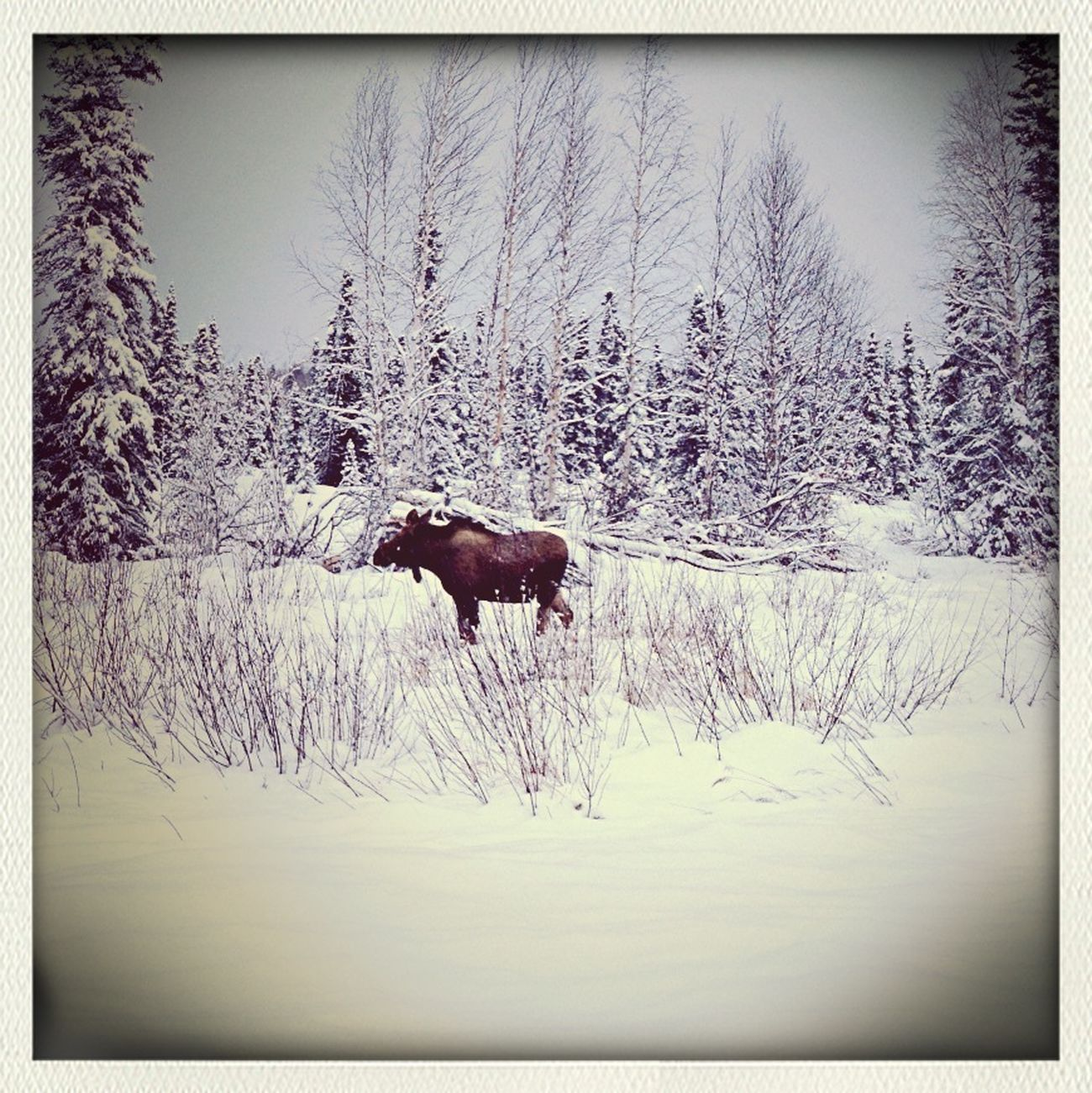 Road Trip-moose Sighting
