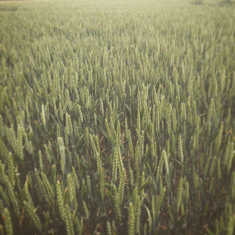 Field of Wheat. Wheat Grain Grain Field Field Crops Field Of Wheat Farming Corn Plants Farmland