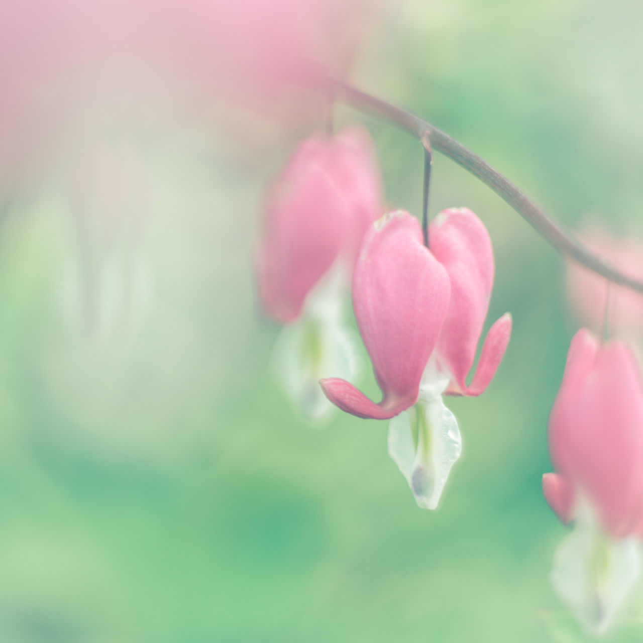 Beauty In Nature Blooming Close-up Day Delicate Flower Fragility Freshness Growth Heart Nature No People Outdoors Pastel Pastel Colors Petal Plant