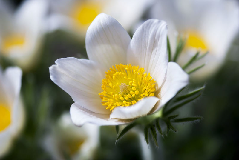 A white pasque blooms in springtime. Bloom Blooming Blossom Botany Easter Fire Floral Flower Flowering Green Growth Meadow Anemone Pasque Flower Pasqueflower Petals Pollen Prairie Crocus Pulsatilla Seasonal Spring Springtime Stamen Tranquil White Wind Flower Yellow