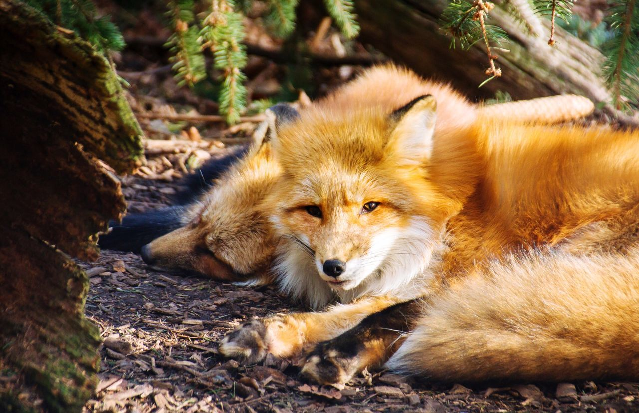 Portrait Of Foxes Resting In Forest