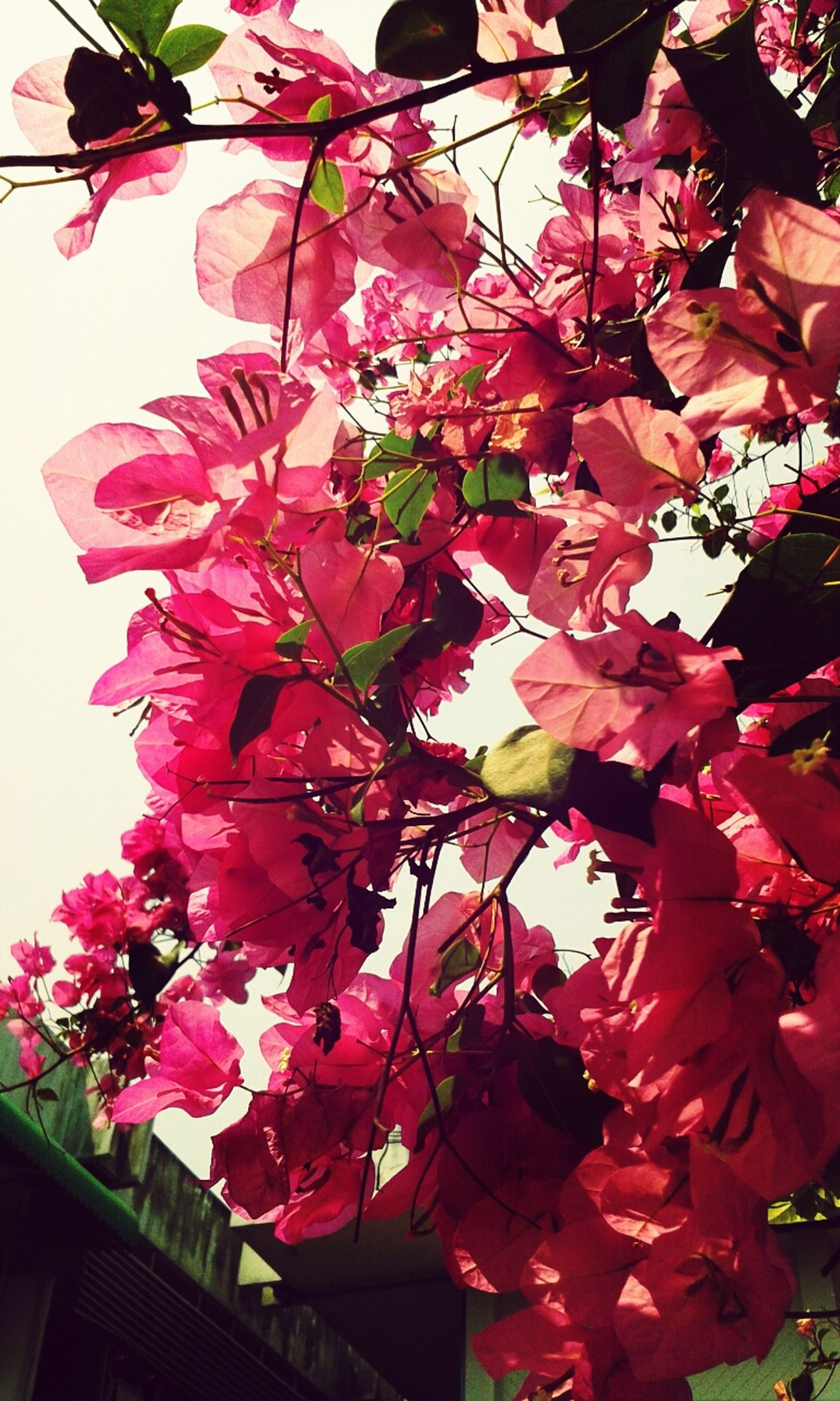 pinky style ♥♥ Pink Flowers