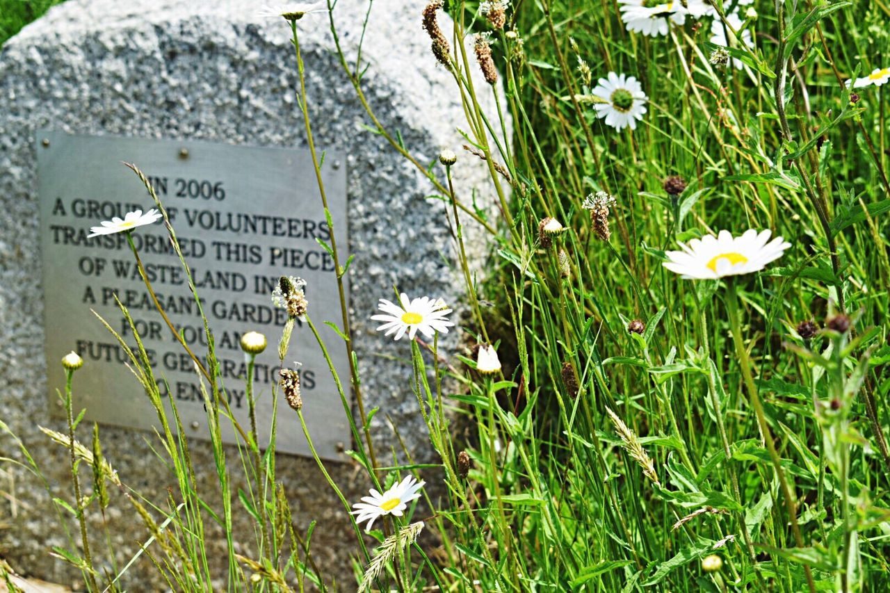 Growth Nature Close-up Text Outdoors Grass Gardens Explanation St Agnes Stone Material Daisies Close-up