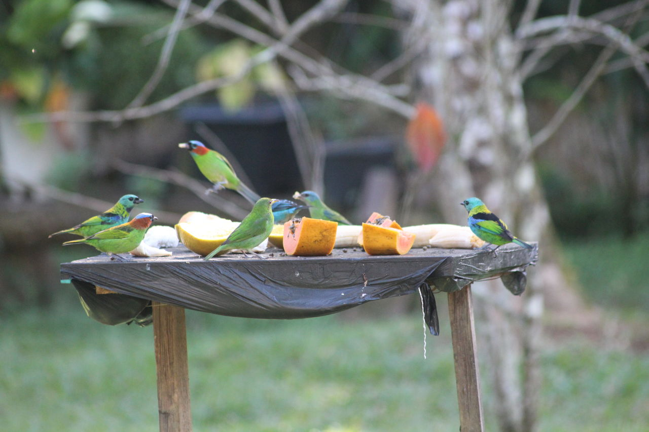 focus on foreground, no people, food, outdoors, fruit, day, perching, bird, animals in the wild, tree, animal themes, parrot, nature, close-up, beauty in nature, freshness