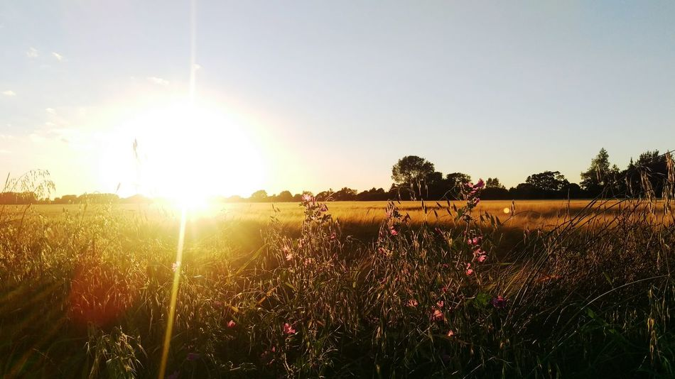 Field Evening Sun Glare Sun Crops Golden Hour Farm Wildflowers Chichester Harbour Enjoying Life