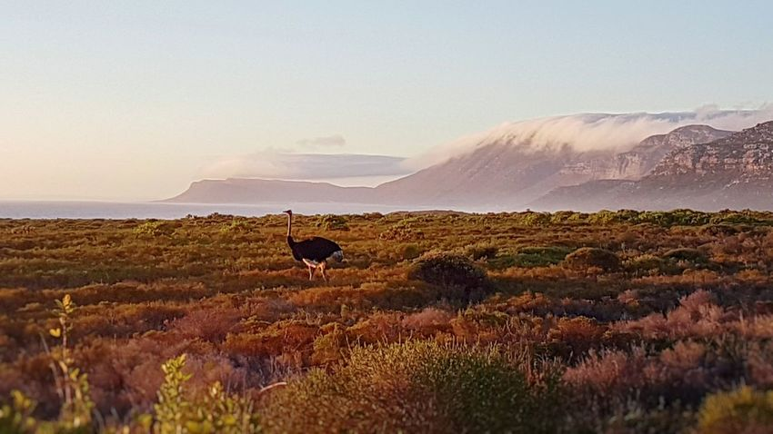 An ostrich roaming by the sea at sunset. Sunset Landscape Beauty In Nature Nature Mountain South Africa Bird Ostrich Capeofgoodhope Animal