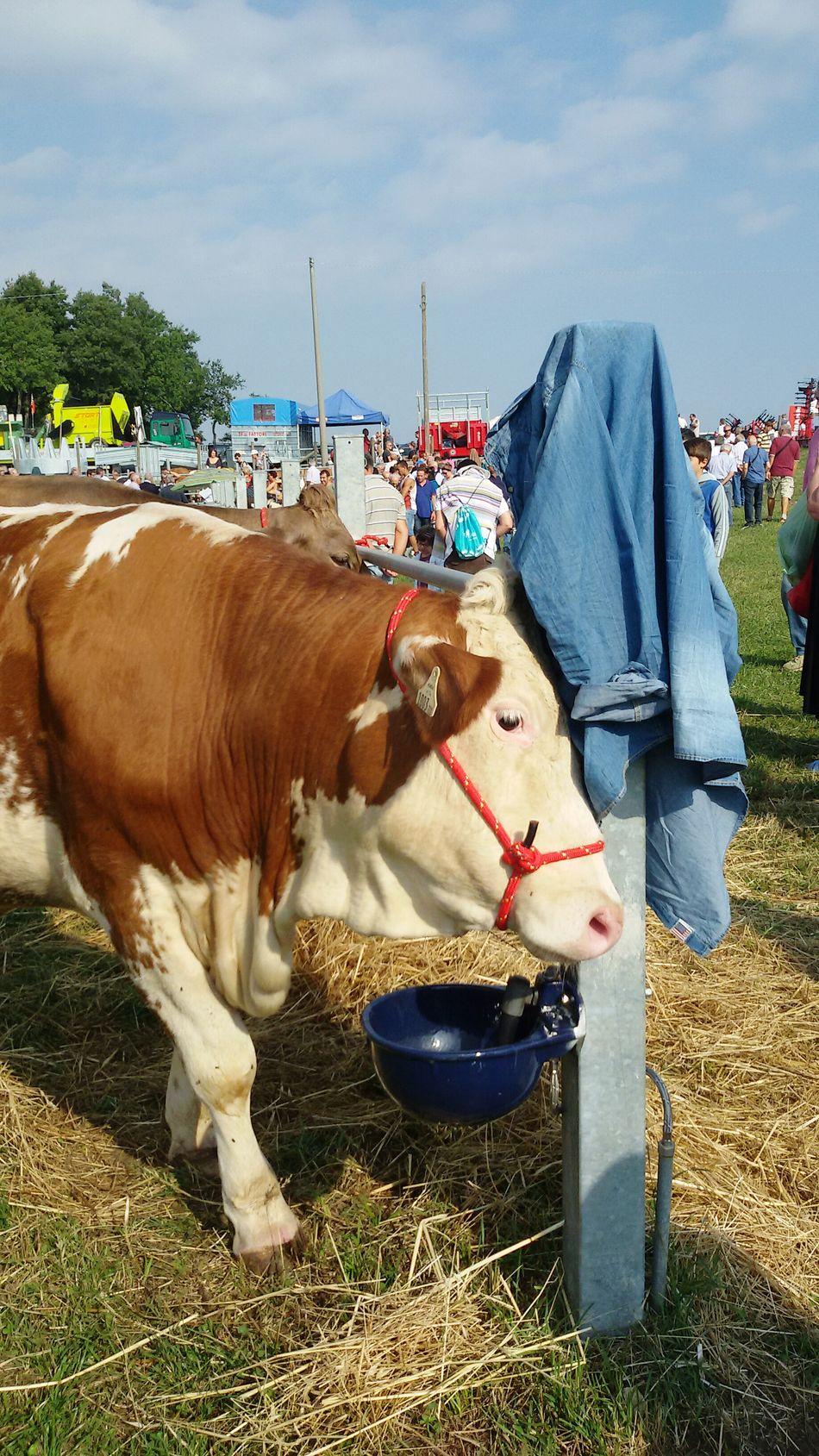Animal Themes Herbivorous Rural Scene Mucca