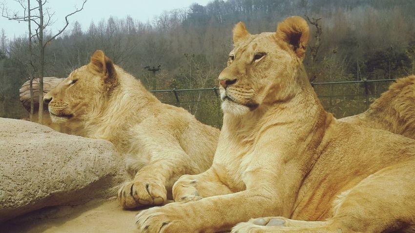 Lions Cool