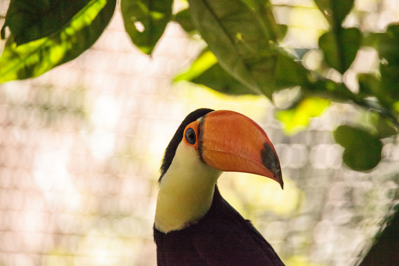 Toco Toucan called Ramphastos toco can be found in the forests of South America Beak Orange Beach Ramphastos Toco Ramphastos Toco Toco Toucan Toucan Animal Themes Animal Wildlife Animals In The Wild Big Beak Bird Close-up Day Nature No People One Animal Outdoors Tropical