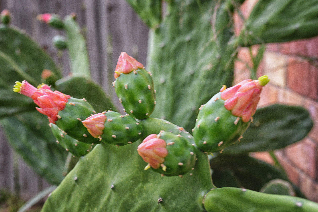 Prickly Pear Cactus Beauty In Nature Cacuts Close-up Day Flower Flower Head Fragility Freshness Fruit Green Color Growth Leaf Nature No People Outdoors Plant EyeEmNewHere