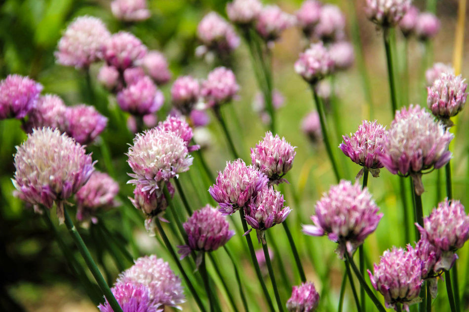 Chive Flower Chive Flowers Chives Close-up Flower Flowerhead Flowers Garden Garden Photography Garden Plants Nature Nature Photography
