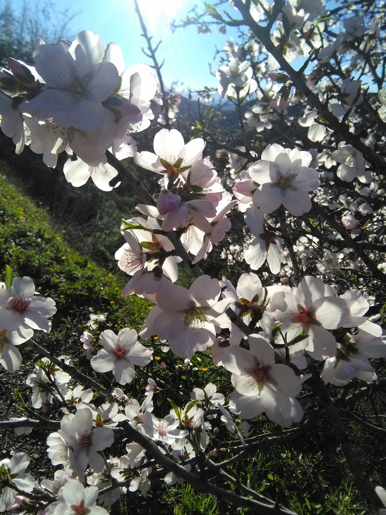Almond blossom for friends in snowy places😘💕🙌🌸 Almond Blossom Nature It's A Wonderful Life What A Wonderful World Life Is Magical