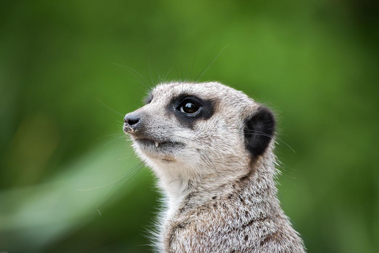 Animal Themes Mammal Meerkat Nature