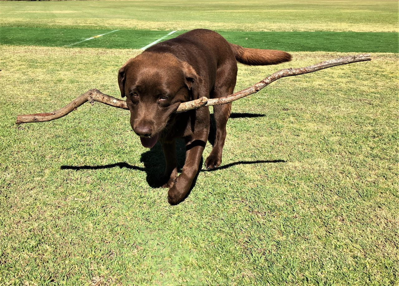 Animal Themes Day Dog Domestic Animals EyeEm Best Shots EyeEm Nature Lover Fetch Fetching Friend Fur Grass Labrador Labrador Retriever Mammal Nature Nature Photography Nature_collection No People One Animal Outdoors Pet Pets Puppy Shadow Stick
