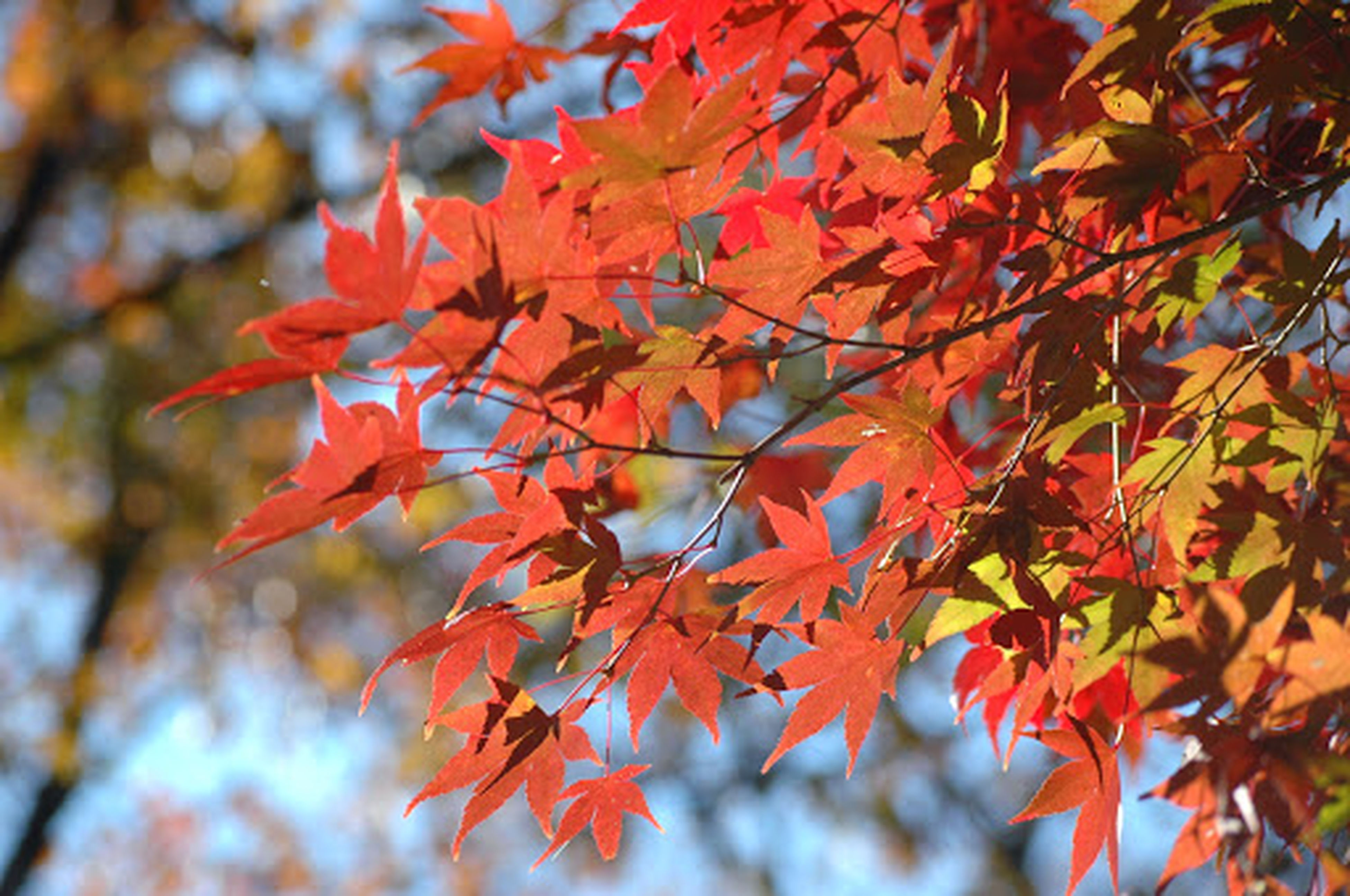 autumn, change, leaf, season, tree, branch, orange color, low angle view, leaves, nature, growth, maple leaf, beauty in nature, focus on foreground, close-up, maple tree, day, tranquility, outdoors, no people