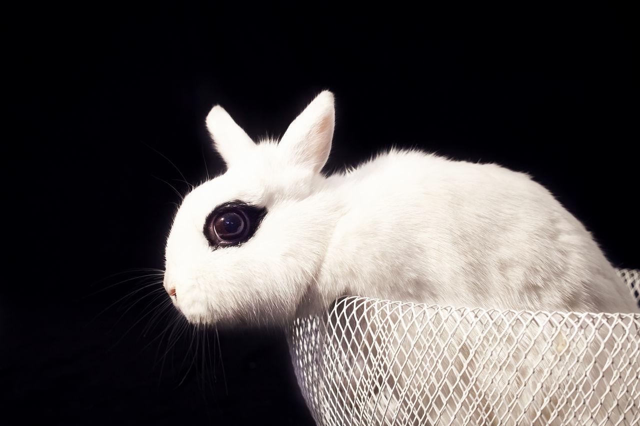 Beautiful stock photos of easter bunny, Animal Eye, Animal Head, Animal Themes, Black Background