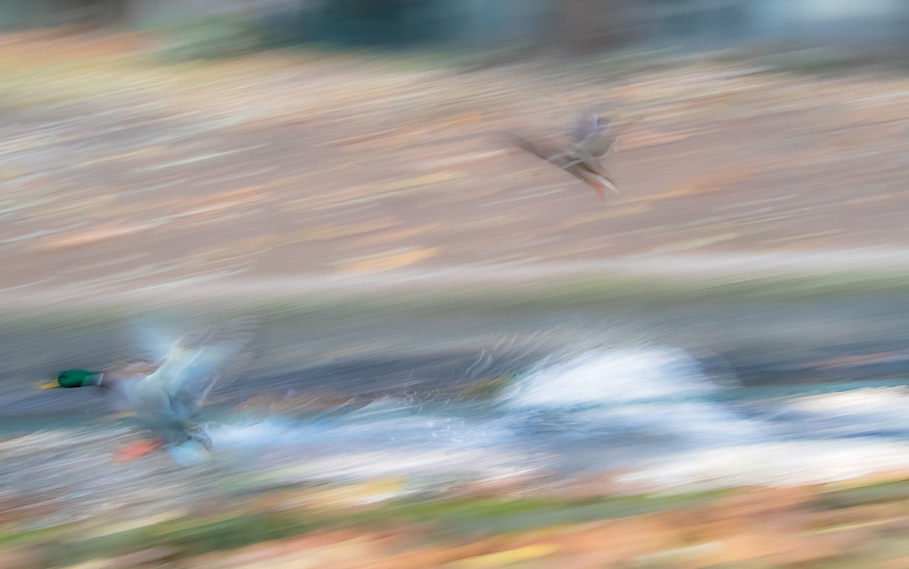 Animal Themes Background Blur Blurred Blurred Background Blurred Motion Day Duck Ducks Ducks At The Lake Flying Animals Flying Bird Flying Birds Flying Duck Flying Ducks Motion Motion Blur Movement Nature No People Outdoors Speed Speed Of Life Wallpaper Water