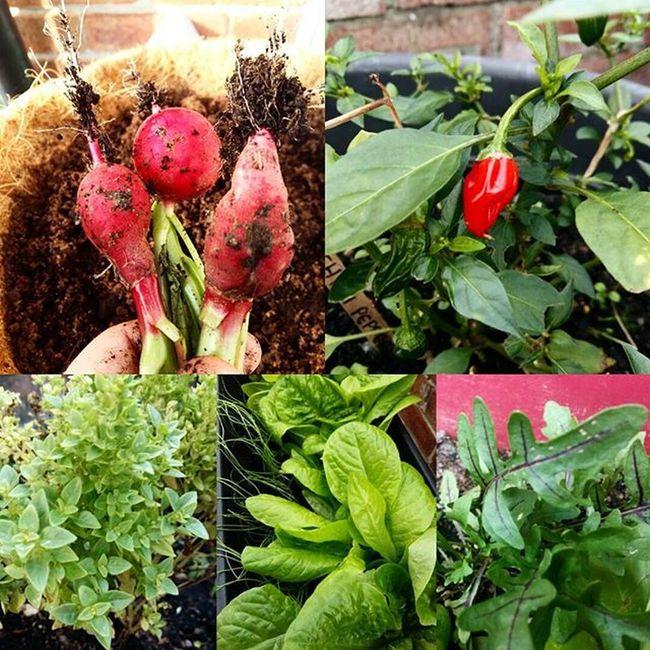 Salad anyone? Well proud of my little balcony garden 😊 Radish Chillipepper Basil Lettuce Rocket Greenfingers Gardening