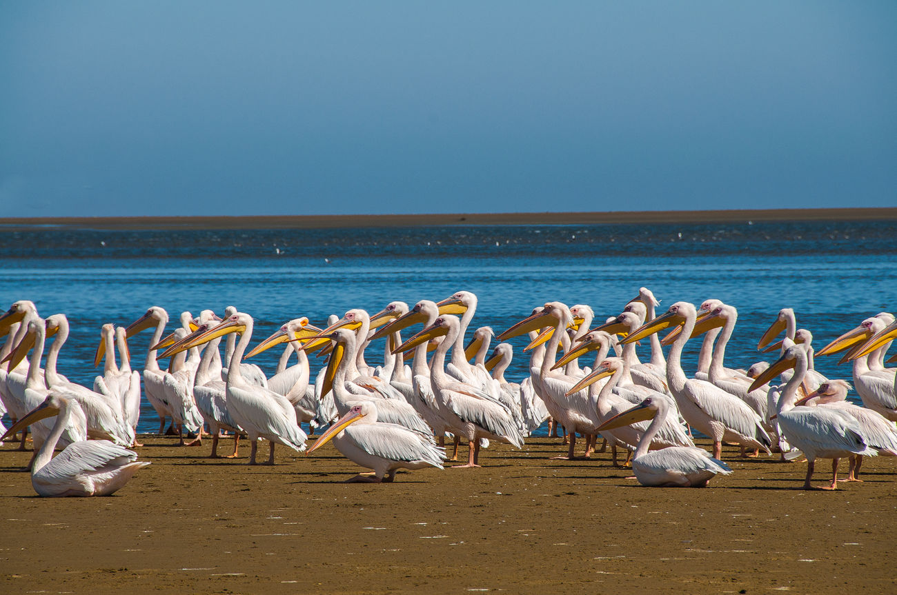 Pelicans Animals In The Wild Beach Beauty In Nature Bird Flock Of Pelicans Namibia Namibia Landscape Pelican Sea Walvis Bay Water