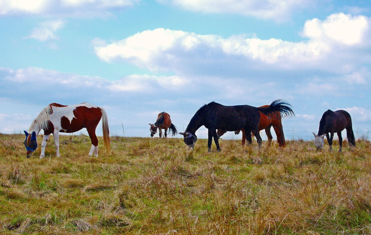 horse, domestic animals, animal themes, mammal, livestock, cow, sky, field, nature, cattle, landscape, grazing, no people, day, grass, cloud - sky, farm animal, standing, outdoors, large group of animals, full length, beauty in nature