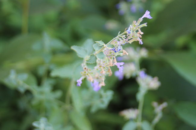Beauty In Nature Blooming Blossom Botany Bud Catnip Close-up Day Flower Flower Head Focus On Foreground Fragility Freshness Green Color Growth In Bloom Lavender Nature No People Outdoors Petal Plant Purple Selective Focus Stem