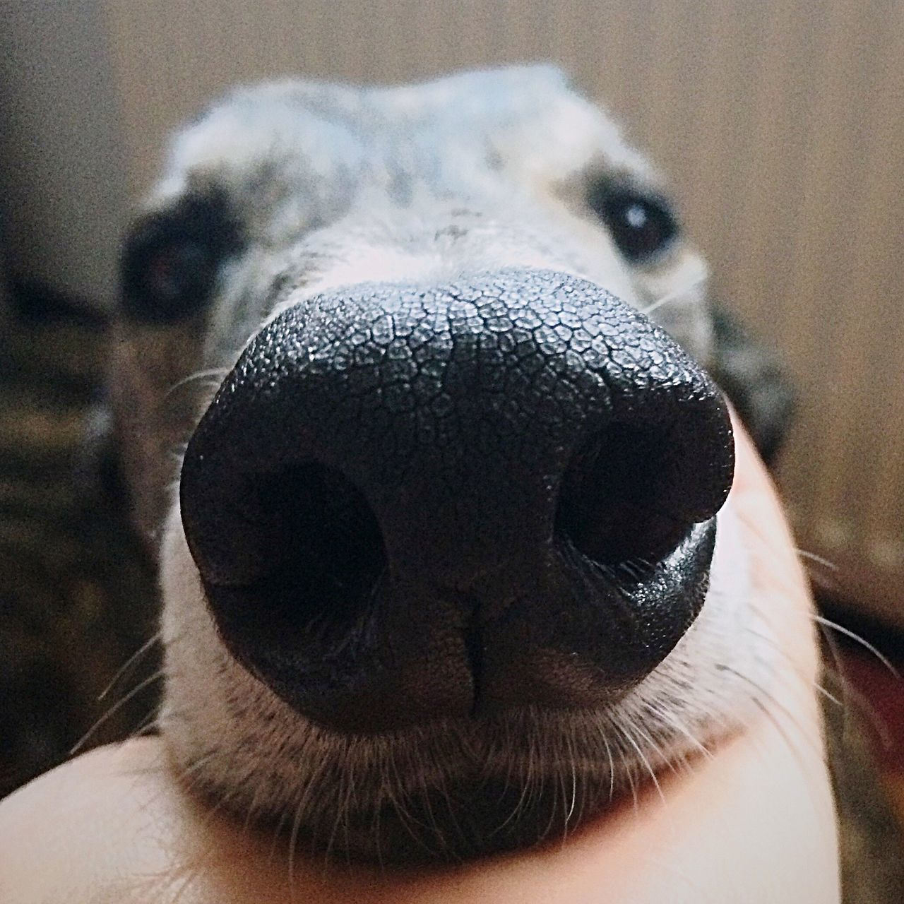 Hey look at me! • Looking At Camera Domestic Animals One Animal Animal Themes Animal Body Part Close-up Portrait Mammal Animal Head  Animal Nose Focus On Foreground Pets Dog Greyhound Nose