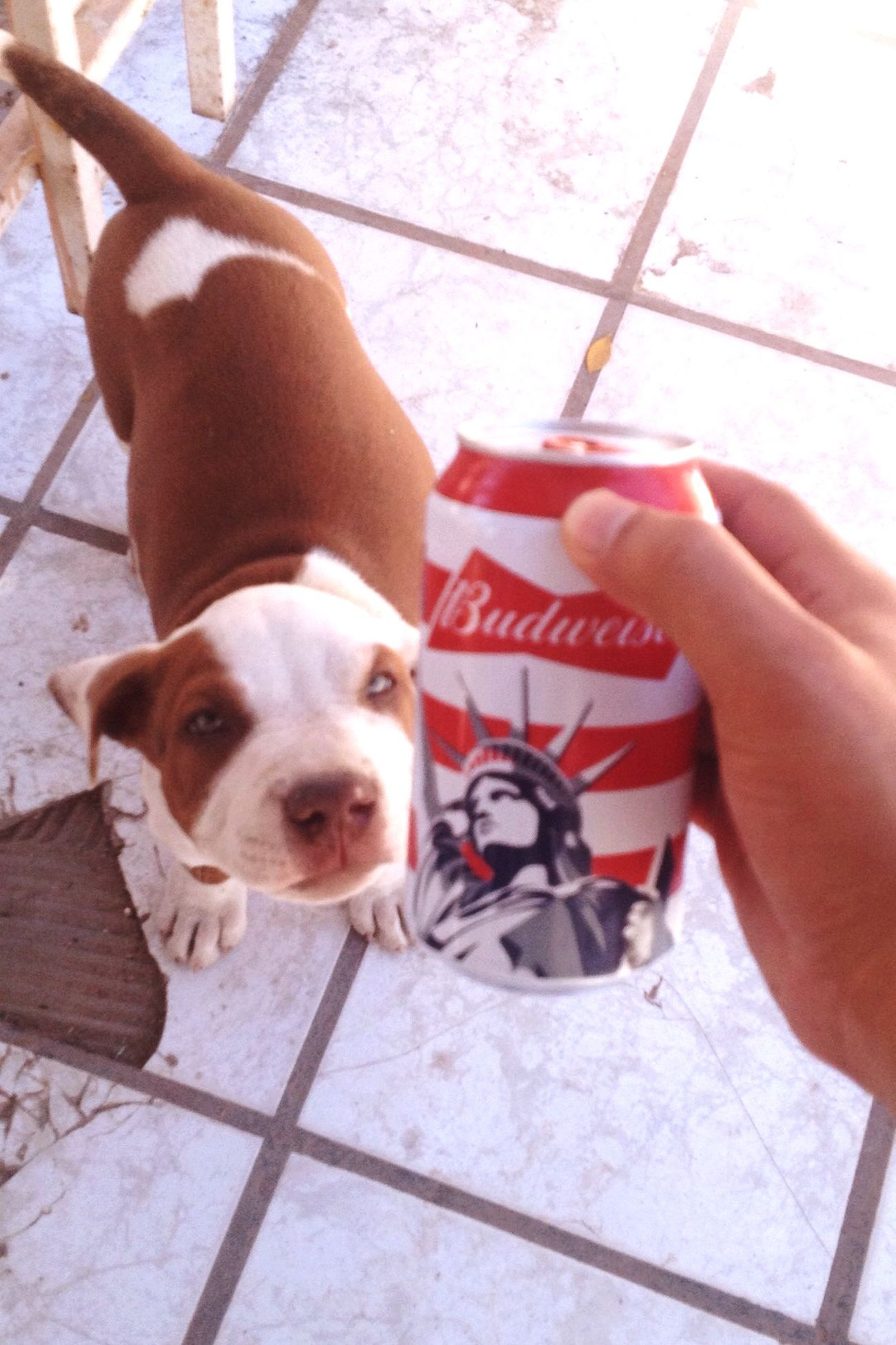 Budweiser Judas Jr Championsleague Cute Dog