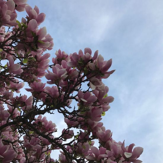 Beauty In Nature Bloom Blooming Blossom Branch Day Flower Flower Head Fragility Freshness Growth Magnolia Magnolia Tree Magnolias Blooming Nature No People Outdoors Petal Pink Color Sky Springtime Tree