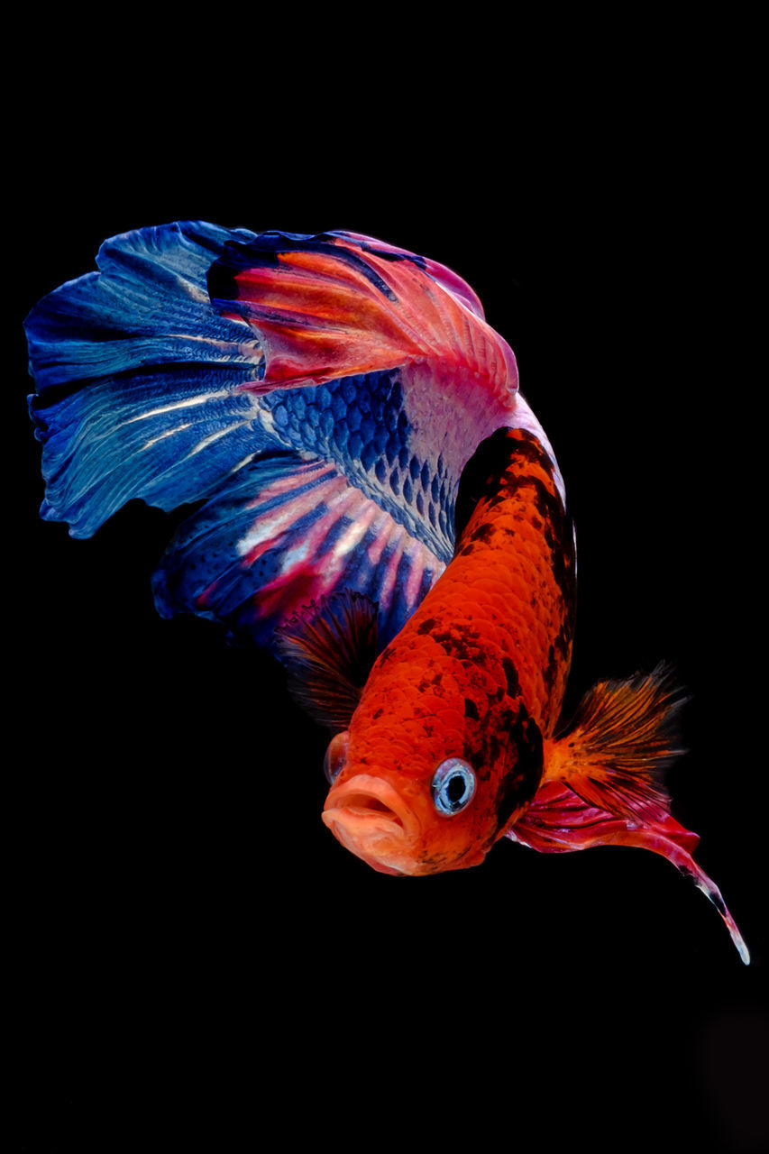 black background, one animal, animal themes, animals in the wild, studio shot, underwater, animal wildlife, swimming, no people, red, water, sea life, multi colored, close-up, night, nature, beauty in nature, undersea, outdoors
