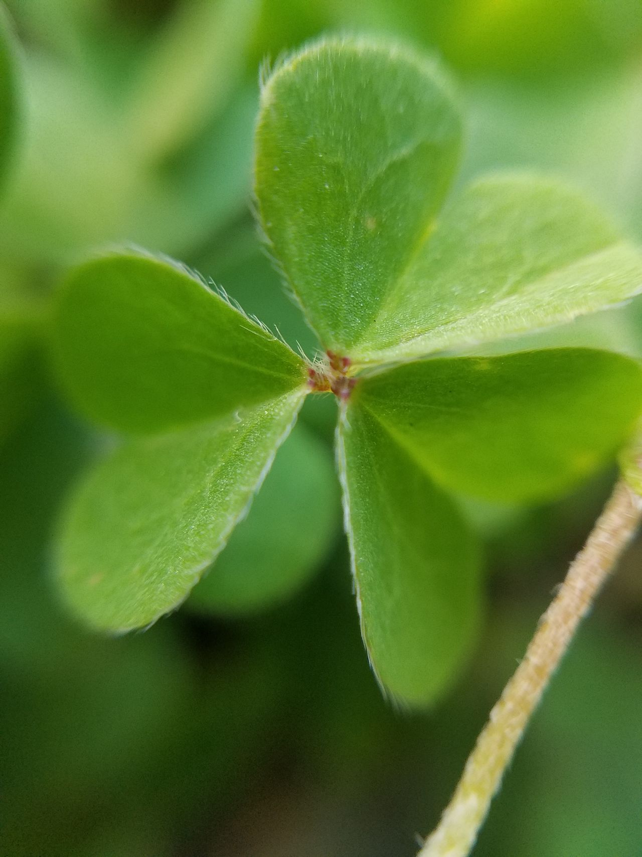 Macro Clover Close-up Nature Beauty In Nature Outdoors Green Color GalaxyS7Edge