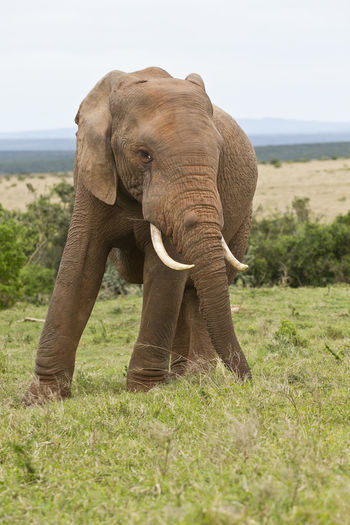 Huge male African elephant standing and pulling out long grass with its trunk to eat African Elephant Animal Themes Animal Trunk Animal Wildlife Animals In The Wild Beauty In Nature Day Elephant Field Grass Landscape Mammal Nature No People One Animal Outdoors Safari Animals Sky Tusk