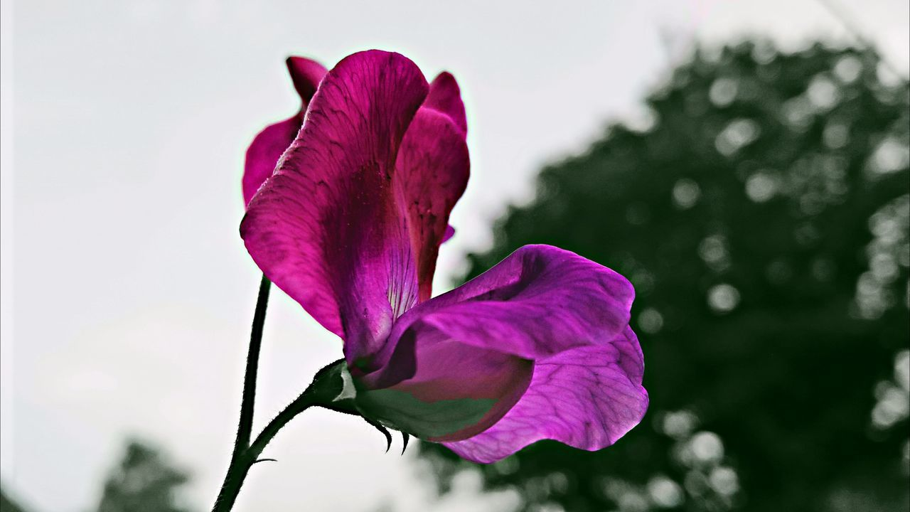 flower, petal, fragility, beauty in nature, freshness, nature, focus on foreground, flower head, growth, pink color, day, plant, no people, purple, close-up, outdoors, blooming, petunia, iris - plant