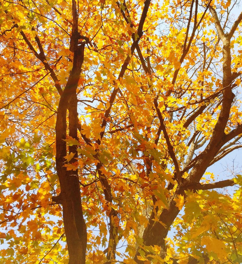 Fall foliage cChangetTreenNatureoOrange ColorbBeauty In NaturelLeaflLow Angle ViewgGrowthnNo PeoplebBranchsScenicsdDaytTranquilityoOutdoors EyeEmNewHere
