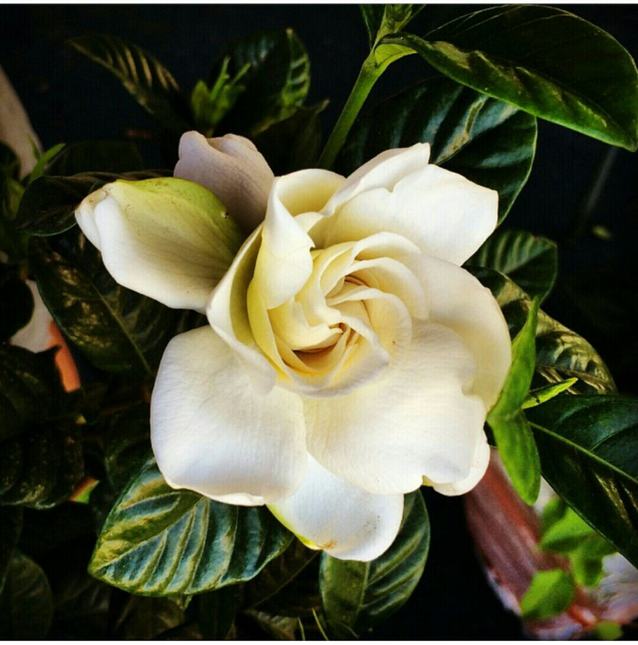 EyeEm Five Senses Smell Gardenia Flowers Flower Collection Plant Photography Beauty In Nature Beauty Gardenia My Favorite Flower Gardenias Flower Porn Perfume Smells Good Smellssogood Bestflowershot Bestflower Light Pretty Love Flowers EyeEm Best Shots Eye4photography  EyeEm Nature Lover EyeEm NYC NYC Photography Pleasantville