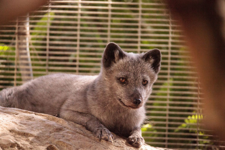 Arctic fox Vulpes lagopus has brown fur in the warmer months and white fur in the winter Arctic Fox Nature Animal Animal Themes Animal Wildlife Animals In The Wild Arctic Close-up Day Fur Gray Grey Mammal Nature No People One Animal Outdoors Vulpes Lagopus Vulpine