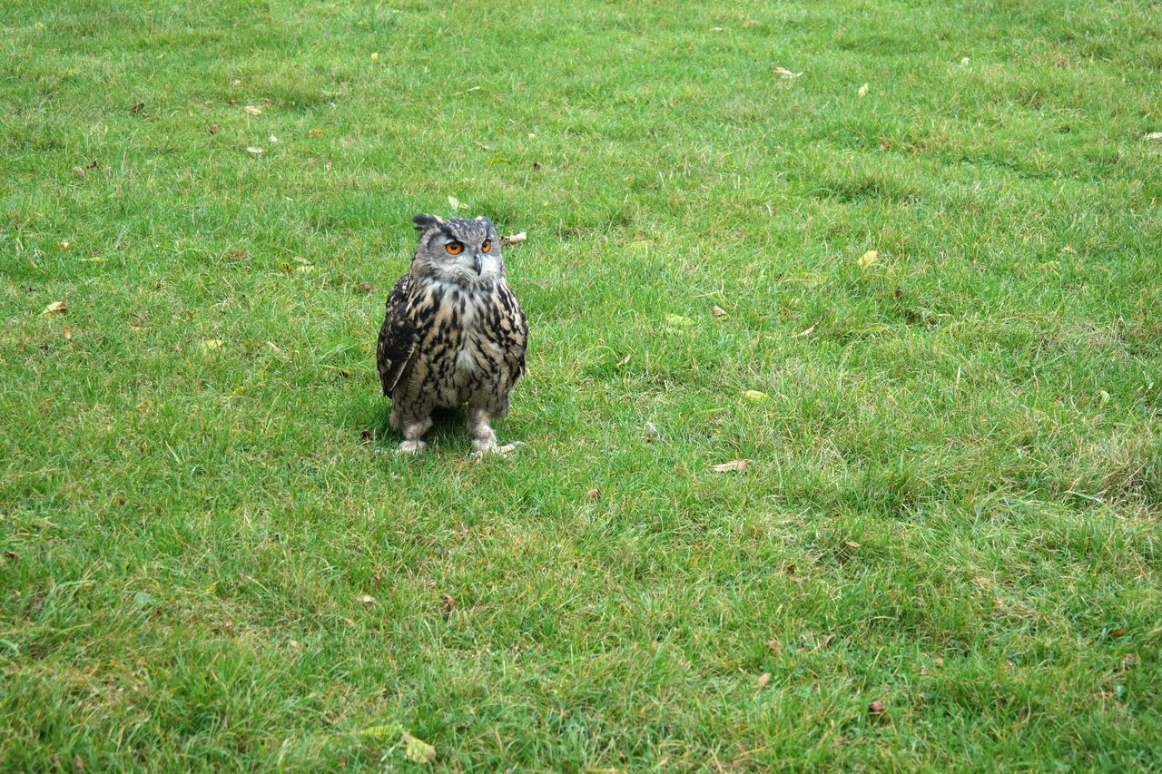 Beautiful stock photos of owl, Animal Themes, Animal Wildlife, Animals In The Wild, Beauty In Nature
