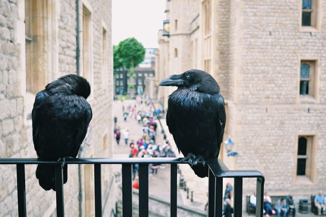 Tower of London Ravens Architecture Art Black Color Building Built Structure City Close-up Day Focus On Foreground No People Outdoors