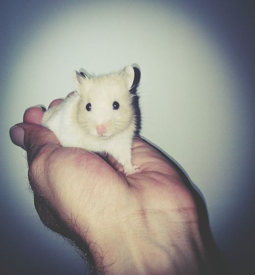 Animal Themes One Person Holding Close-up Hamster 🐹Hamster🐭 Animal Mouse Hamster Love