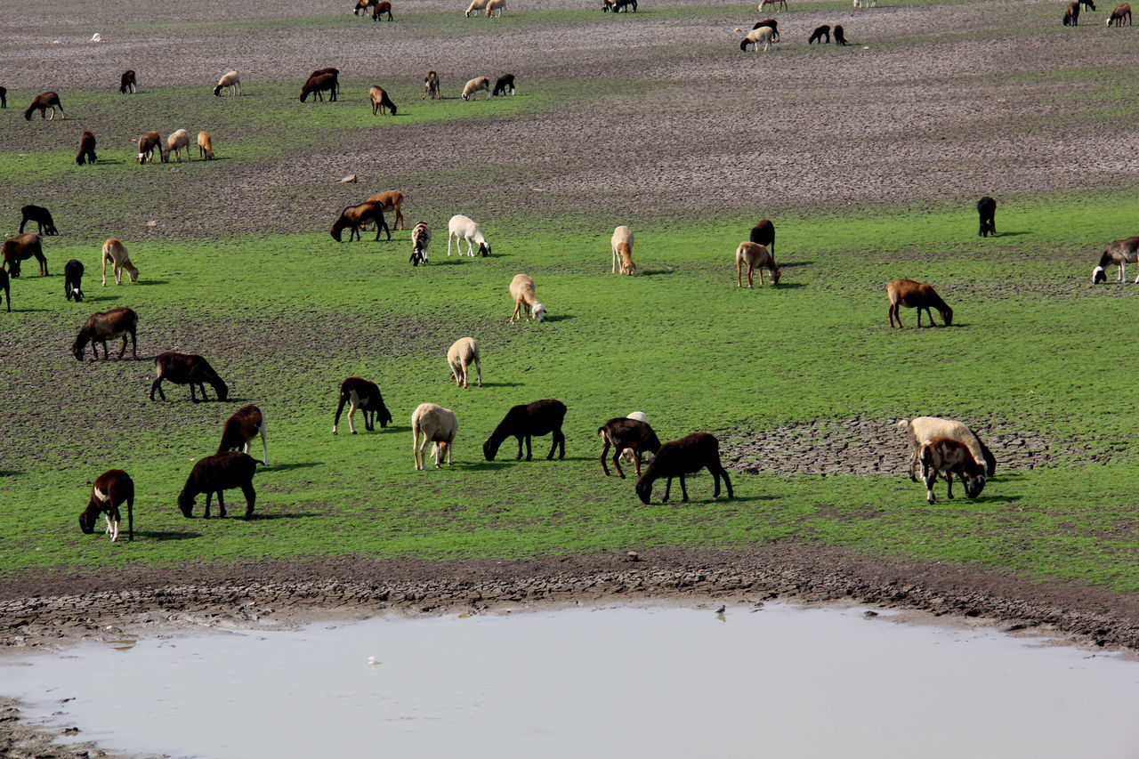 Animal Animal Themes Animals In The Wild Beauty In Nature Day Grazing Cattle Large Group Of Animals Mammal Nature No People Outdoors Sheeps