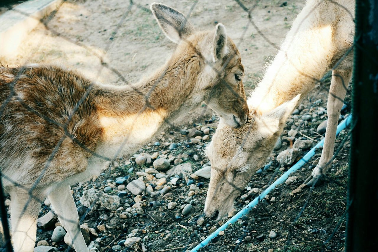 Two Fawns In Zoo