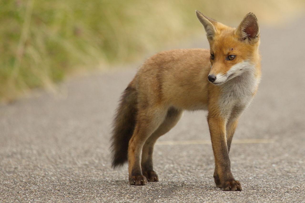 Beautiful stock photos of fuchs, Animal Themes, Animal Wildlife, Animals In The Wild, Asphalt