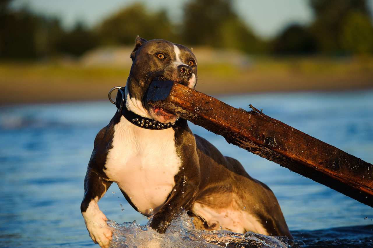 Beautiful stock photos of pitbull, American Pit Bull Terrier, Animal Themes, Carnivora, Carrying In Mouth