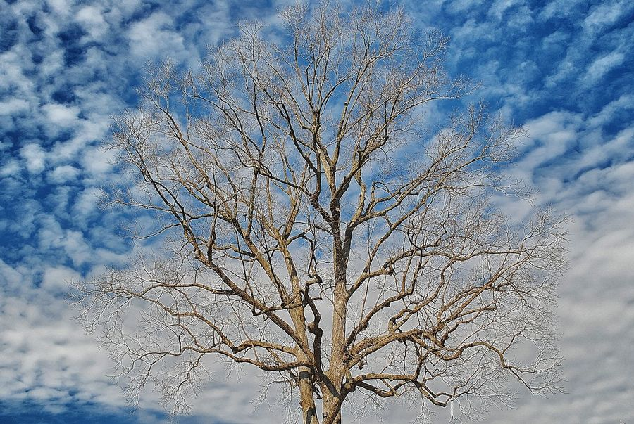 Bare Tree Beauty In Nature Blue Branch Cloud Cloud - Sky Cloudscape Cloudy Day Dead Plant Dried Plant High Section Low Angle View Majestic Nature Non-urban Scene Outdoors Remote Scenics Single Tree Sky Tranquil Scene Tranquility Tree Tree Trunk